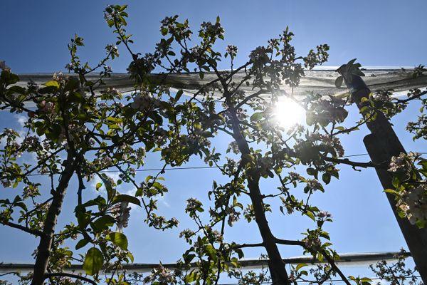La récolte des fruits est mitigée cet été en Savoie à cause de l'épisode de gel survenu au printemps. (Illustration)