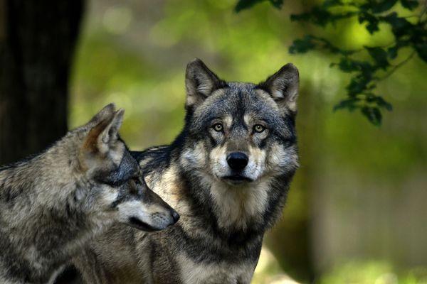 Deux loups sont menacés en Suisse dans le canton de Vaud, par une décision de tir des autorités. Image d'illustration.