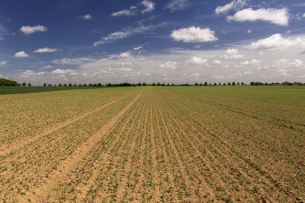 Un champs de betteraves sucrières, symbole de l'agriculture industrielle picarde.