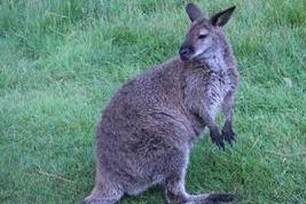 Le wallaby recueilli par Planète Sauvage est sans doute le fuyard de la forêt du Gâvre qui avait fait le buzz.