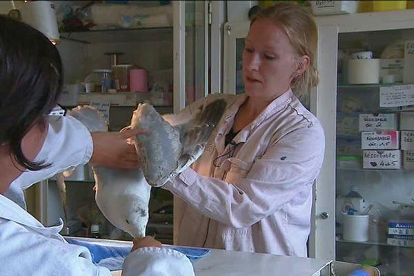 Un jeune goéland argenté blessé examiné par les soigneurs du CHENE