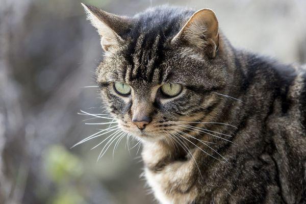 Un chat domestique, image d'illustration.