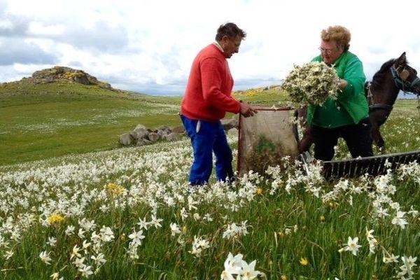 Aubrac (Lozère) - récolte des narcisses du poète pour en faire de l'extrait de parfum - 11 juin 2013.