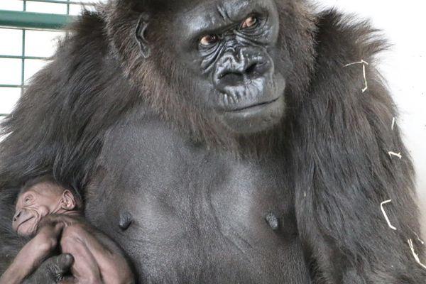 Une naissance rare : le 18 novembre dernier ce bébé gorille a vu le jour au parc de Saint-Martin-la-Plaine (Loire)