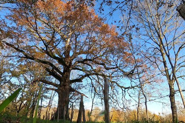 Ce chêne, connu aux Achards, en Vendée, a 400 ans.