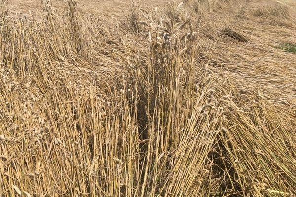 Le blé couché par la pluie est plus sensible à l'humidité