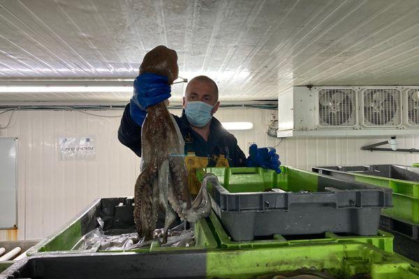 28 tonnes de poulpes ont été pêchées depuis le début de l'année à La Cotinière.