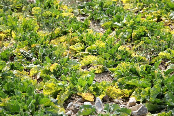 Les feuilles attaquées par le virus jaunissent, et la photosynthèse ne se fait plus correctement.
