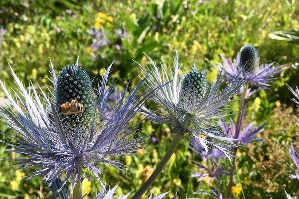 Les chardons bleus des Alpes, espèce protégée pour sa rareté, dévoile une magnifique couleur bleu métallique.