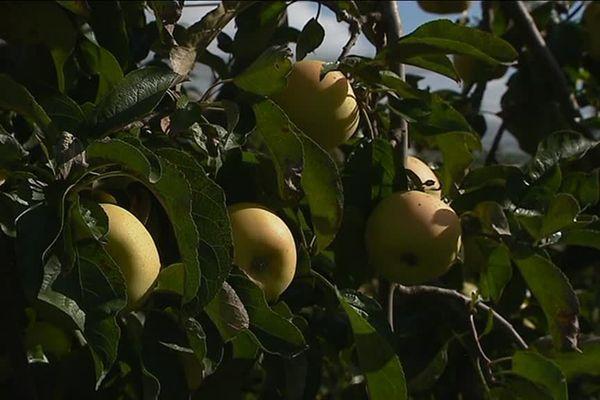 Pommes Chantecler bio du Conflent
