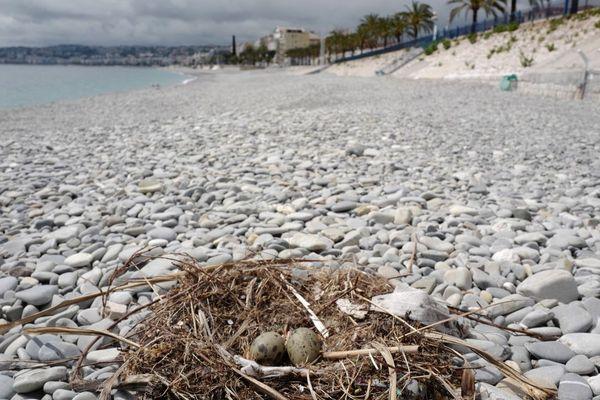 Un nid de goéland observé sur la plage de galets de Nice le 27 avril durant le confinement