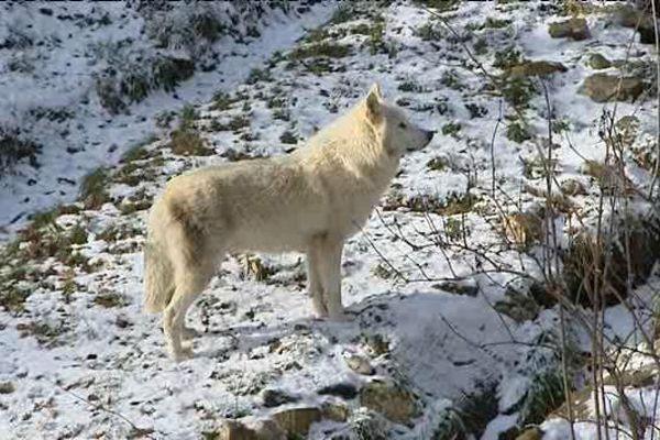 Un loup d'Alaska au parc animalier d'Auvergne, à Ardes-sur-Couze