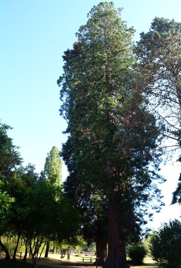 Le séquoia géant de Gouex, qui culmine à 37 mètres, est probablement l'arbre le plus haut de la Vienne.