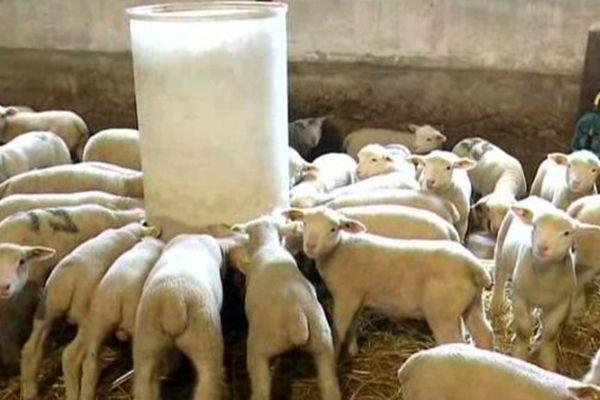 Un élevage de moutons, en Seine-et-Marne.
