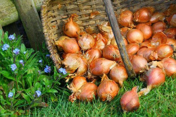 L'échalote, plante bulbeuse de la famille des Amaryllidacées dispose d'une IGP échalote d'Anjou qui garantit son origine et sa méthode culturale.