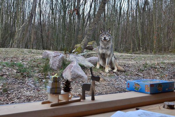 Face à face avec un loup. Qui regarde qui ?