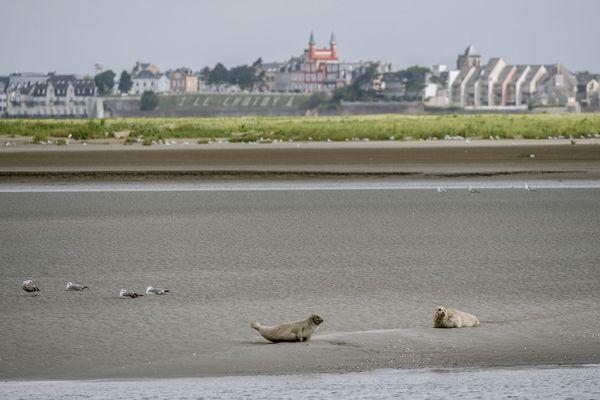 Deux phoques se dorent la pilule en baie de Somme devant Le Crotoy