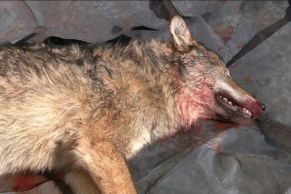 Ce loup adulte a été percuté par une voiture le 13 mars à Chaffois dans le Doubs.