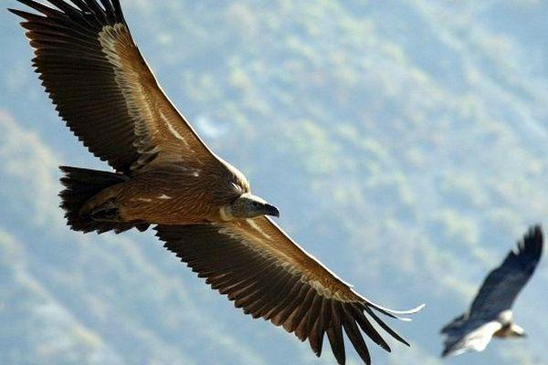Le vautour qui a pu être relâché avait une envergure de 3 mètres.
