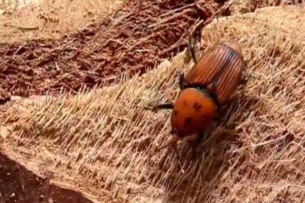 Le coléoptère responsable de la disparition des palmiers
