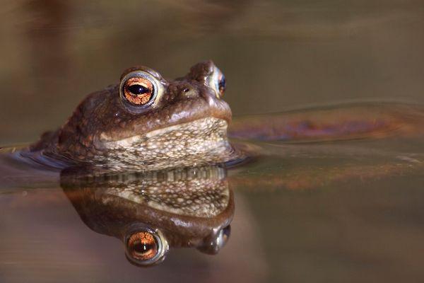 Chaque printemps, le Crapaud commun quitte ses quartiers d'hibernation et commence sa migration pour rejoindre son lieu de reproduction.
