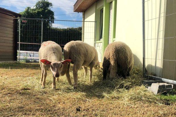 A la SPA de Mulhouse, les moutons sont gardés dans un enclos spécialement aménagé pour eux.