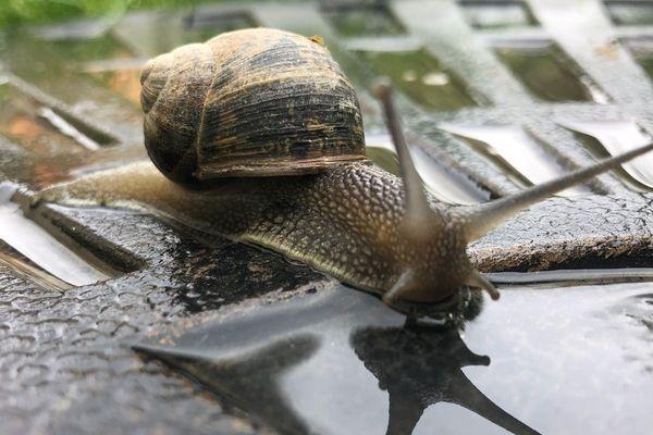 Un escargot rennais s'offre une flaque d'eau