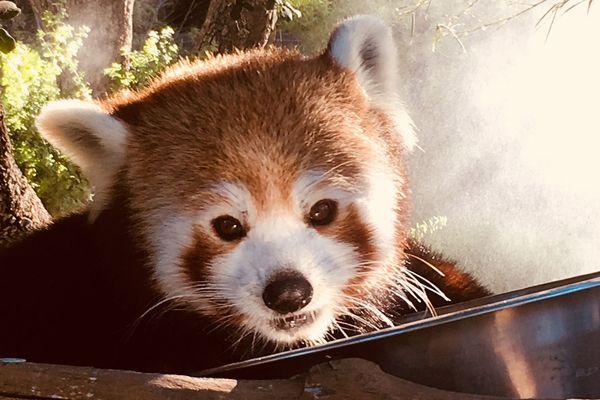 Un panda roux au zoo de La Barben près de Salon de Provence (Bouches-du-Rhône).