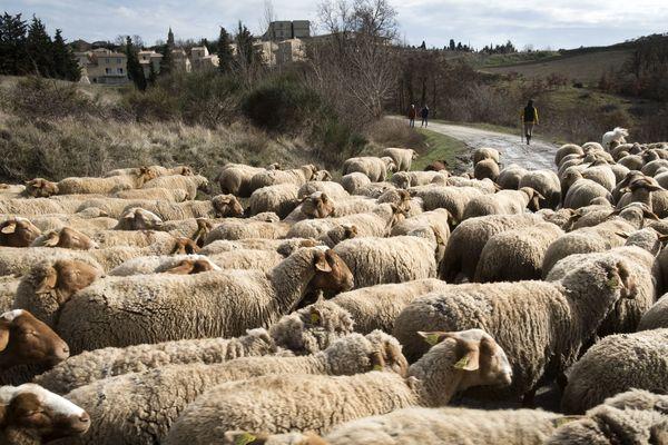 En Haute-Vienne, on teste des moutons réducteurs de déchets - Photo d'illustration