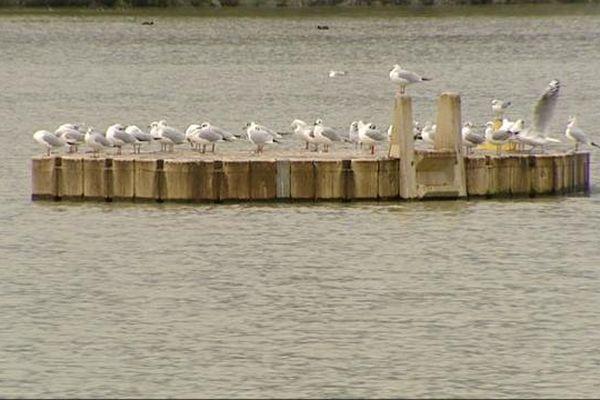 Les mouettes rieuses peuplent les plans d'eau en hiver (lac Kir de Dijon)