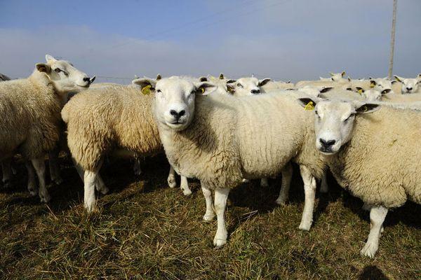 Un troupeau de mouton. Photo d'illustration. JEAN-CHRISTOPHE VERHAEGEN / AFP