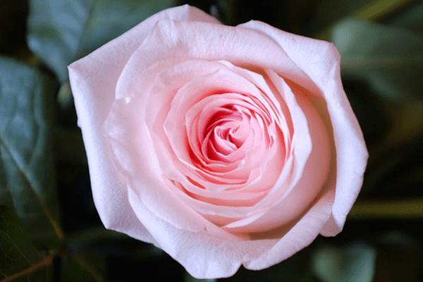 La rose Only Lyon, rose de vase choisie pour faire rayonner Lyon à l'international, a été créée dans l'Allier à Malicorne par Arnaud Delbard