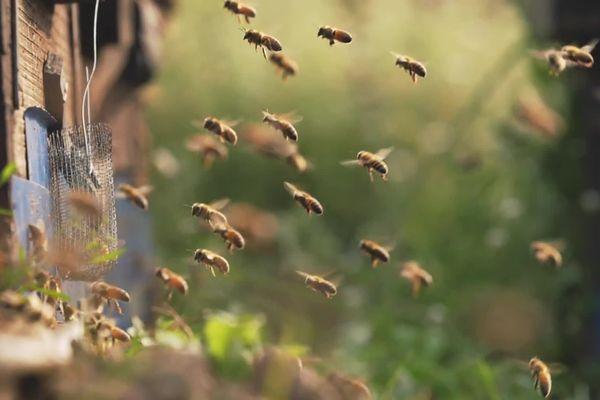 La préservation des abeilles, un des enjeux pour INRAE, nouvel acteur majeur de la recherche