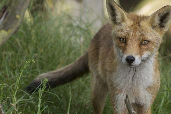Un renard photographié aux Pays-Bas. Photo d'illustration