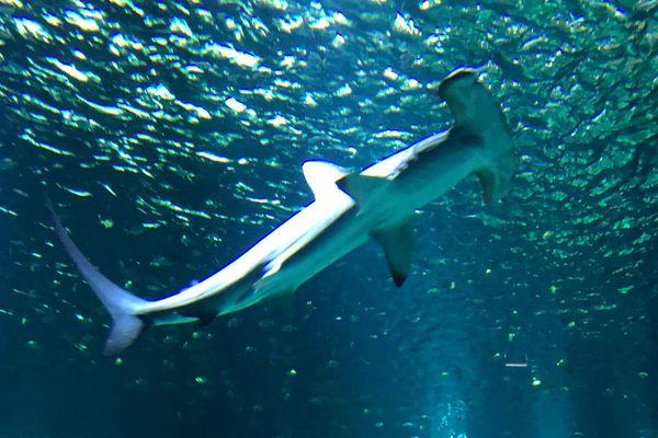 Un requin-marteau