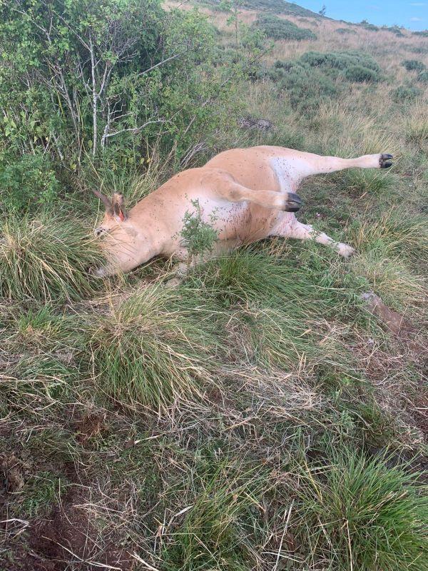 Fabien Rigal a trouvé un de ses veaux morts dans un pré. Il a été frappé par la maladie du charbon.