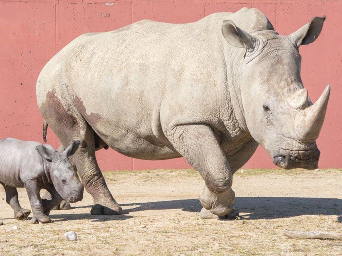 Ardeche Naissance Rare D Un Rhinoceros Blanc Au Safari De Peaugres