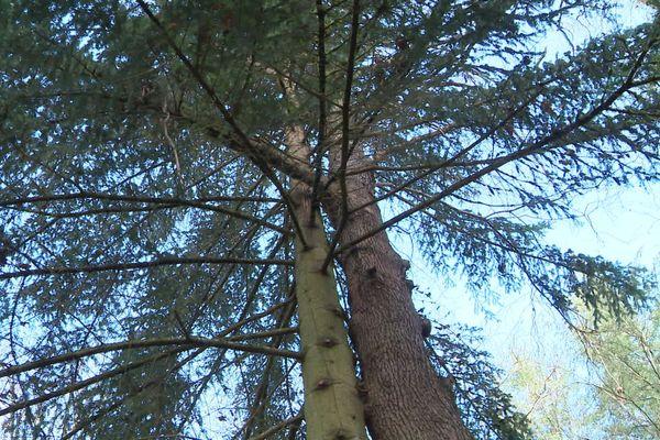 """Les """"arbres amoureux"""", à Villeneuve-Saint-Salves (Yonne), font partie des 14 arbres remarquables retenus (sur 300 inscrits) pour le concours de l'arbre de l'année 2020."""