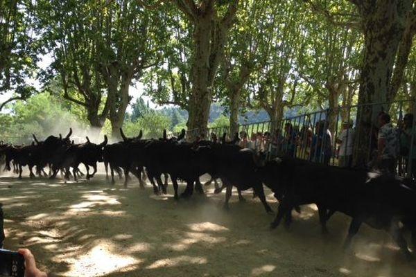50 taureaux ont traversé Sommières à toute allure.