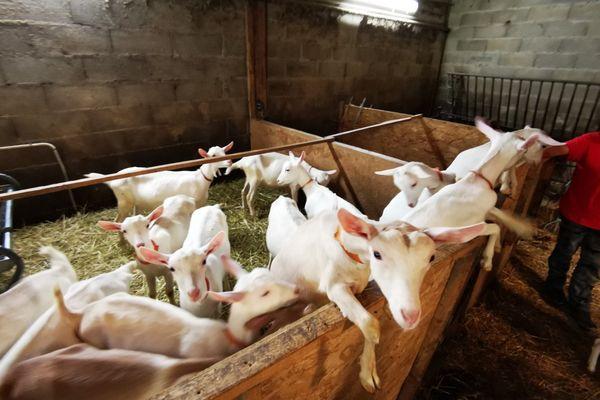 Les vétérinaires ruraux se déplacent dans les élevages pour prendre soin des animaux de la ferme.