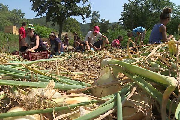 Récolte d'oignons doux des Cévennes (AOP) à Sumène dans le Gard - 25/08/2021.