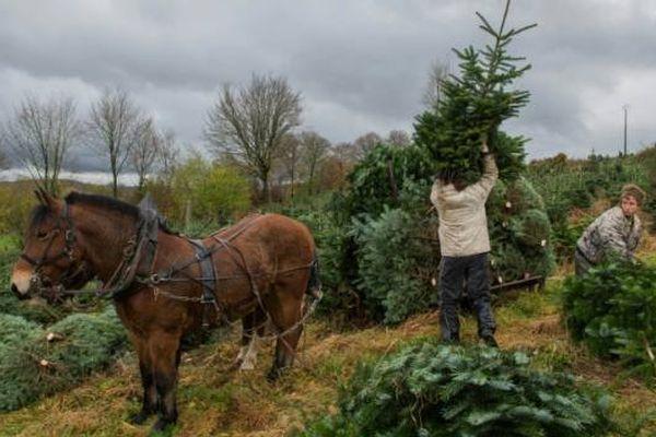 Des employés de chez Floval transportent des sapins de Noël à l'aide de chevaux, le 19 novembre 2015