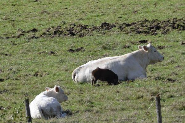 Le jeune sanglier retourne la terre agricole pour se nourrir.