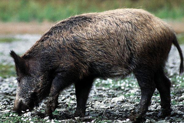 Dans le Gard, en 2016-2017 le tableau de chasse s'élève à plus de 40 000 sangliers tués ce qui traduit l'explosion démographique de ce gibier comparée au 1 000 sangliers abattus au début des années 1970.