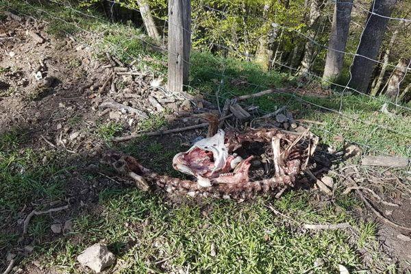 L'attaque imputée à l'ours a eu lieu dans la nuit de jeudi à vendredi dans une bergerie de Lançon (Hautes-Pyrénées)