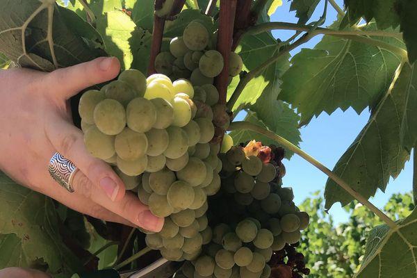 Le coup d'envoi des vendanges a été donné le jeudi 6 août 2020 en Ardèche avec la première récolte du Muscaris, un nouveau cépage dans le département.