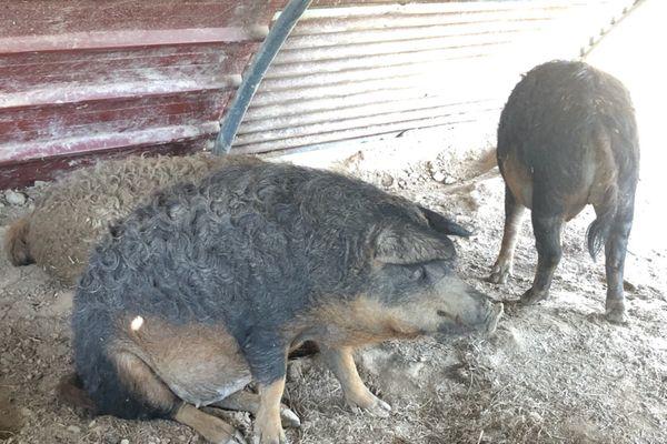 La longue durée d'élevage de ces porcs représente un investissement important de la part de l'éleveur.