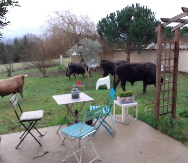Les vaches et des taureaux de race Casta ont ravagé la pelouse et le potager de cette maison individuelle à Alairac, dans l'Aude.