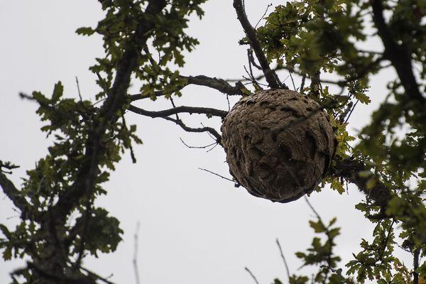 Un nid de frelons en Loire-Atlantique.