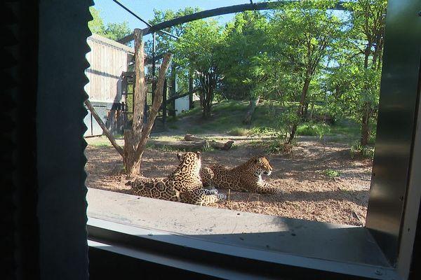 Les touristes peuvent admirer les fauves depuis le lodge derrière des vitres blindées.